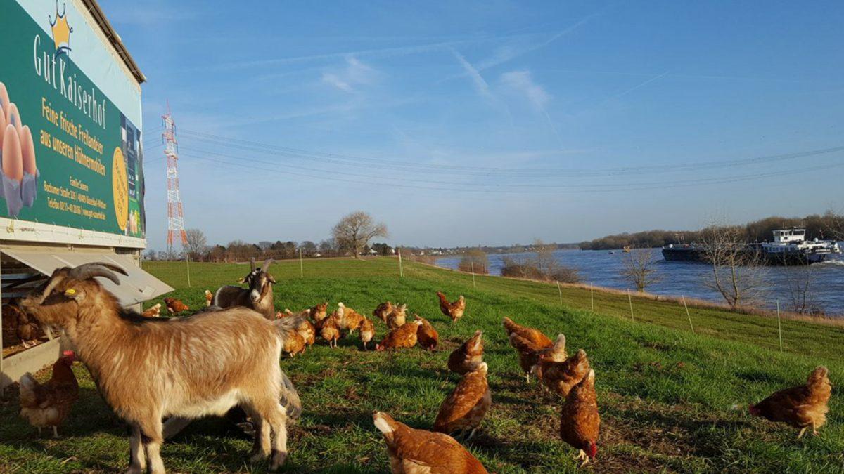 Die Hühner und Ziegen vom Gut Kaiserhof - Foto: Familie Sonnen, Gut Kaiserhof